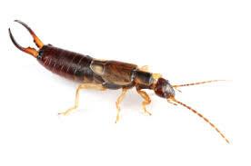 Year of the Earwig