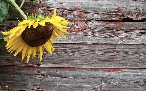 crop sunflower.jpg