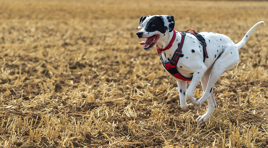 Our%20family%20Dalmatian%2C%20enjoying%20running%20across%20and%20newly%20ploughed%20field._edited.j