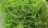 зеленая липа 1.jpg