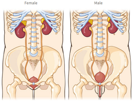 Female and male urinary tract diagrams