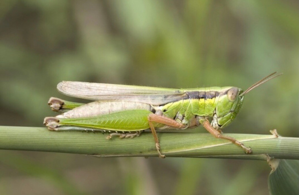 grasshopper, open circulatory system, lymphatic system, lymph drainage