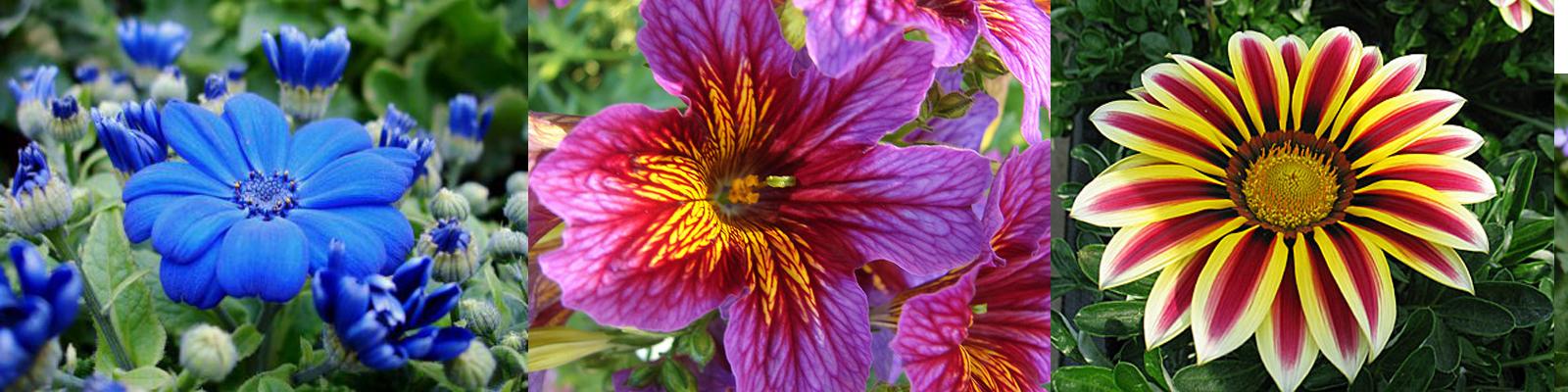 рассаду однолетних цветов