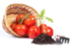 саженцы томата оптом и в розницу в Москве