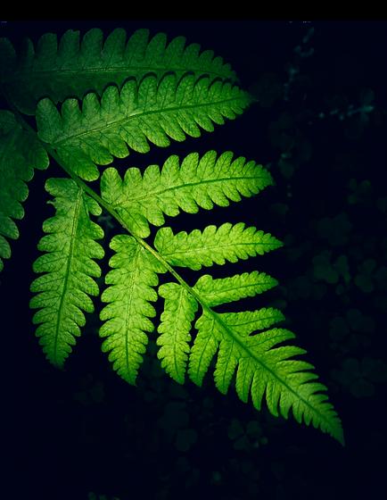 close-up-photo-of-green-fern-leaf-1226302_edited.png