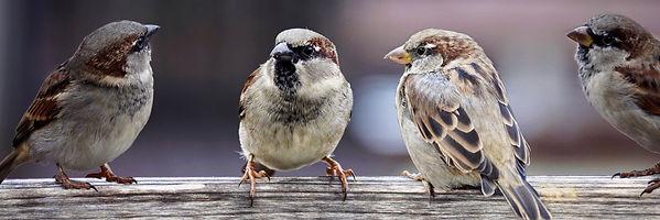 sparrows-2759978.jpg