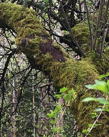 Sammaloitunut puu #nature #luonnonmukain