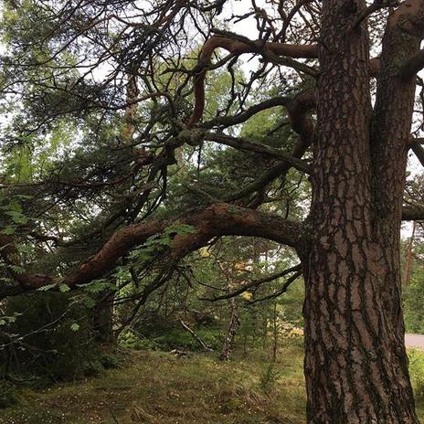 #puut #puuvoima ##metsävoima #männyt #et