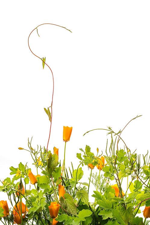 Flora_Eschscholzia Californica