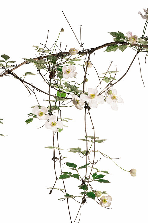 Flora_Clematis
