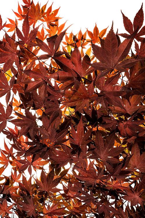 Flora_Japanischer Ahorn