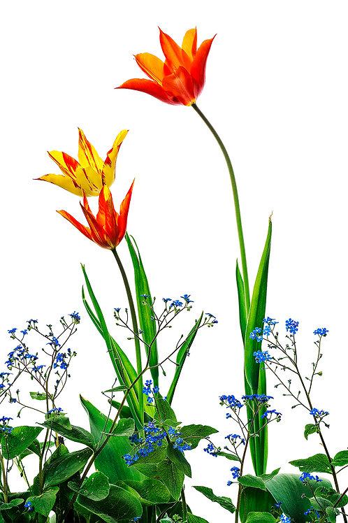 Flora_Tulpen