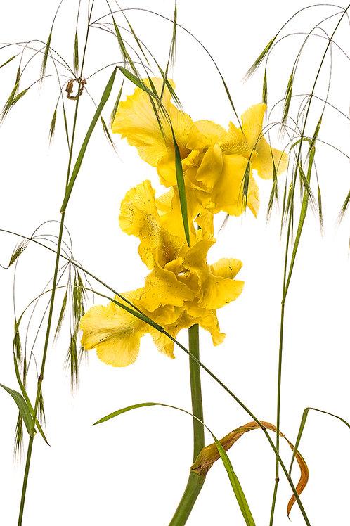 Flora_Gelbe Schwertlilie