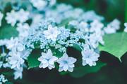 〈6.26土〉紫陽花をさがしに行こうの会