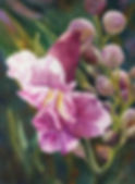 Desert Willow.jpg