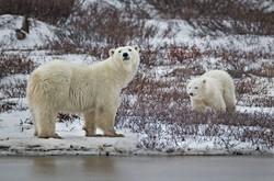004 Polar Bear (Ursus maritimus) Churchill - MB Canada