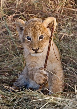 007_Lion cub_Kenya