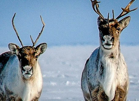 'We're not giving up.' The fight to save caribou from Arctic drilling