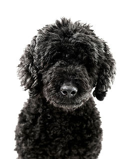 Pudel, Animal, Foto, Photography, Tierfotografie, Hund, studio, Tierportrait, animal portrait