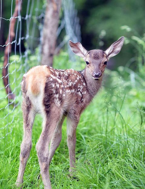 Animal, Foto, Photography, Tierfotografie, Hund, studio, Tierportrait, animal portrait, deer Hirschalb