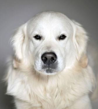 Golden retriever, Animal, Foto, Photography, Tierfotografie, Hund, studio, Tierportrait, animal portrait