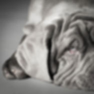 Mastino neapolitana, Animal, Foto, Photography, Tierfotografie, Hund, studio, Tierportrait, animal portrait, Welpen, puppy