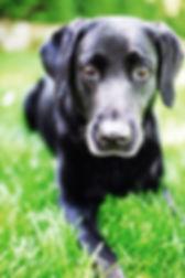 Labrador, Animal, Foto, Photography, Tierfotografie, Hund, studio, Tierportrait, animal portrait
