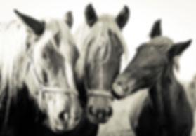 Animal, Foto, Photography, Tierfotografie, Hund, studio, Tierportrait, animal portrait, horses, Pferde