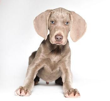 Weimaraner, Animal, Foto, Photography, Tierfotografie, Hund, studio, Tierportrait, animal portrait, Welpen, puppy