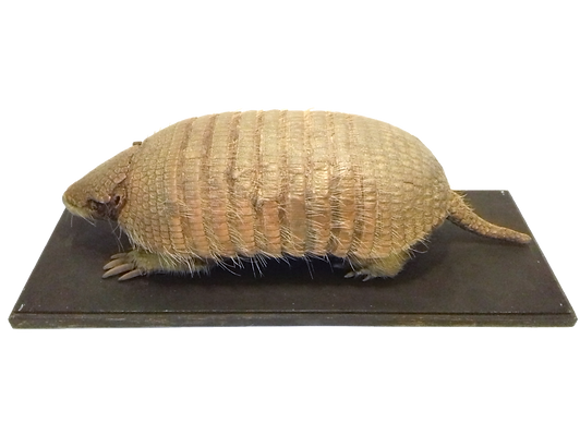 A taxidermy armadillo.