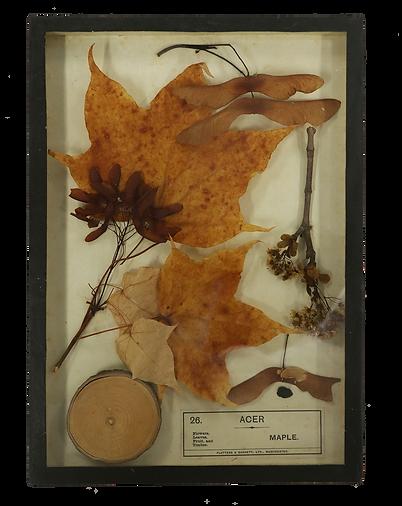 Botanical specimen of maple