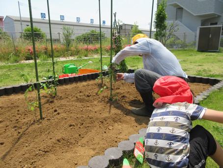 トマトの苗を植えました。