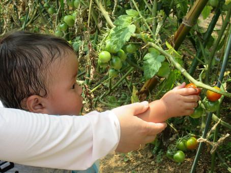 トマト収穫!!