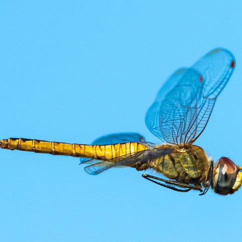 Dragonfly, migrating