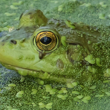 Bullfrog in Duckweed