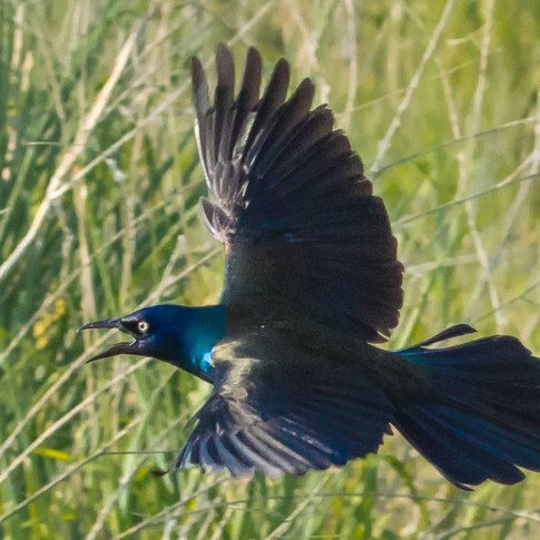Grackle, flying