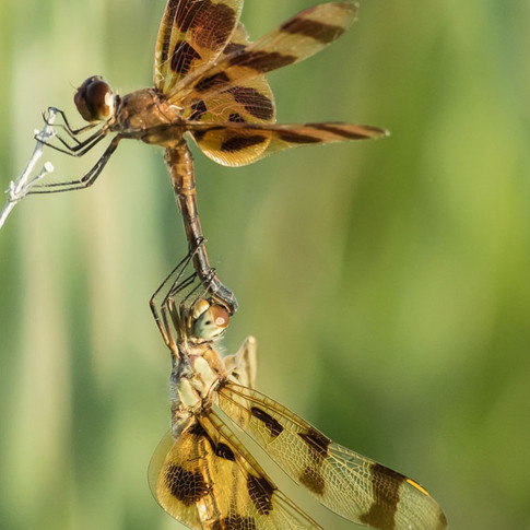 Calico Pennant Dragonflies