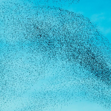 Flock of blackbirds, murmuration