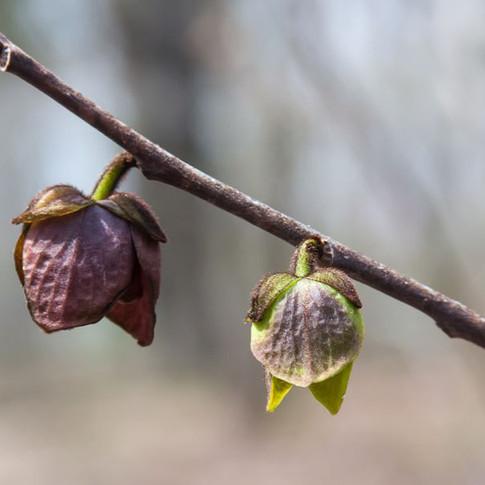 Paw Paw blossom