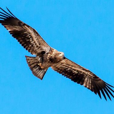 Immature eagle