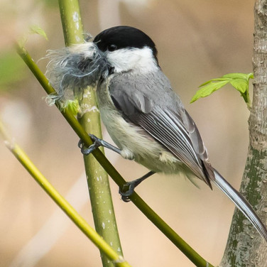 Black Capped Chickadee with nesting material