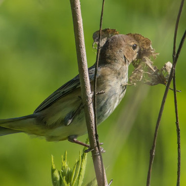 Female indigo bunting with nesting material