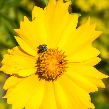 Coreopsis with mating weevils