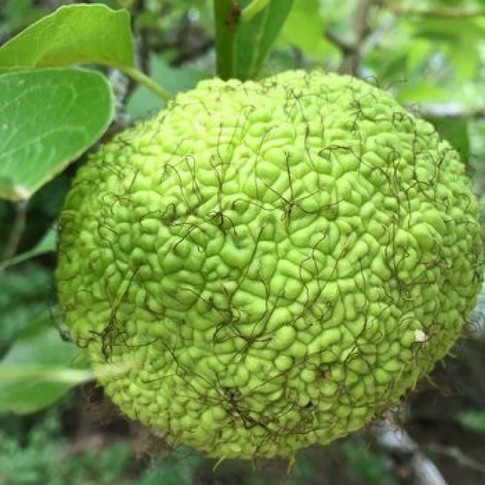 Osage Orange or Hedge Apple