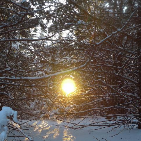 Sun through snowy redcedars