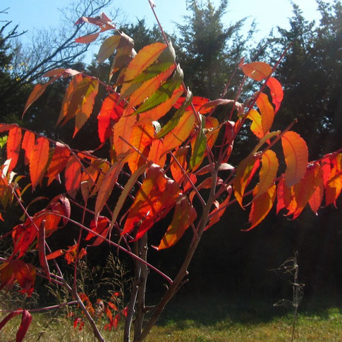 Red Sumac leaves