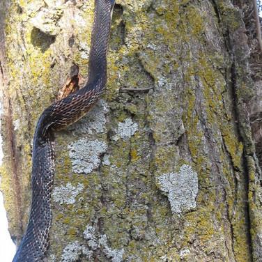 Black Snake climbing Honey Locust