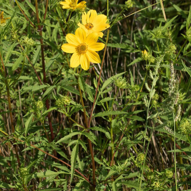 Bidens Sunflower