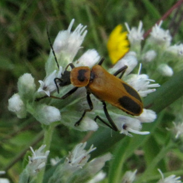 Soldier Beetle on Bonset flower