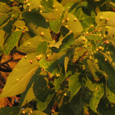 Hackberry leaves with galls